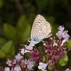 Brown Argus, Aricia agestis 0733