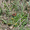 Small Tortoiseshell, Aglais urticae 6036