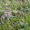 Brown Rat, Rattus norvegicus 6032