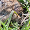 Brown Rat, Rattus norvegicus 6034