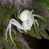 Crab Spider, Misumena vatia 8572