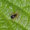 Money spider, Dismodicus bifrons  8607