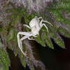 Crab Spider, Misumena vatia 8573