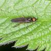 Murky-legged Black Legionnaire, Beris chalybata 8549