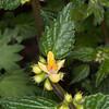 Yellow Archangel, Lamium galeobdolon 8570