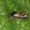 Common Flower Bug, Anthocoris nemorum 8621