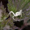 Crab Spider, Misumena vatia 8571