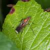 Semaphore Fly, Poecilobothrus nobilitatus 7262