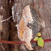 bracket fungus noid 7268