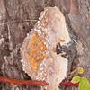 bracket fungus noid 7269