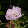 Wild rose, Rosa species 7196