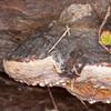 bracket fungus noid 7270