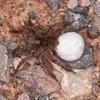 Wolf Spider ♀ with cocoon, Pardosa lugubris 7216