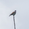 Turtle Dove, Streptopelia turtur 502