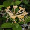 Honeysuckle, Lonicera caprifolium 7194