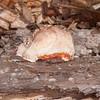 bracket fungus noid 7265