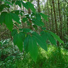 Sweet Chestnut, Castanea sativa 182