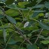 Light Emerald, Campaea margaritata 7244