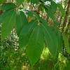 Sweet Chestnut, Castanea sativa 183