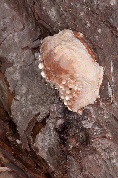 bracket fungus noid 7272