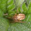 Spider, Metellina species 8405