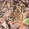 Speckled Wood, Pararge aegeria 8516