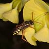 Gooden's Nomad Bee, Nomada goodeniana 8415