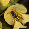 Gooden's Nomad Bee, Nomada goodeniana 8416