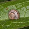 Kentish Snail, Monacha cantiana 8542