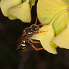 Gooden's Nomad Bee, Nomada goodeniana 8414