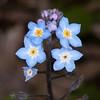 Wood Forget-me-not, Myosotis sylvatica, blueflora 8532