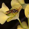 Gooden's Nomad Bee, Nomada goodeniana 8419
