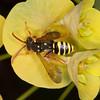 Gooden's Nomad Bee, Nomada goodeniana 8418