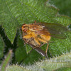 Yellow Dung Fly, Scatophaga stercoraria 8547