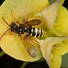 Gooden's Nomad Bee, Nomada goodeniana 8417