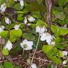 Wood Sorrel, Oxalis acetosella 8471