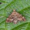 Common Nettle-tap, Anthophila fabriciana 2343