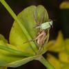 Crab spider noid with Leaf weevil, Phyllobius species 2619