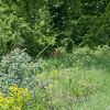 Roe Deer, Capreolus capreolus 2397