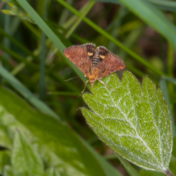 Small Purple and Gold, Pyrausta aurata 2456