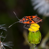 Fire Bug, Corizus hyoscyami 2733