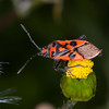 Fire Bug, Corizus hyoscyami 2734