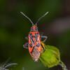 Fire Bug, Corizus hyoscyami 2740
