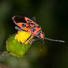 Fire Bug, Corizus hyoscyami 2742