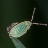 Leaf weevil, Phyllobius species 2556