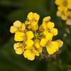 Common Winter Cress, Barbarea vulgaris 2424