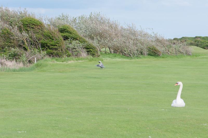 Grey Heron, Ardea cinerea & Mute Swan, Cygnus olor on golf course 2358