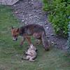 Red Fox, Vulpes vulpes 2248