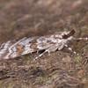 Meadow Grey, Scoparia pyralella 2553