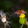Fire Bug, Corizus hyoscyami 2732